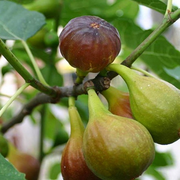 Brown-figs-Cereales-Killer-wikimedia-commons