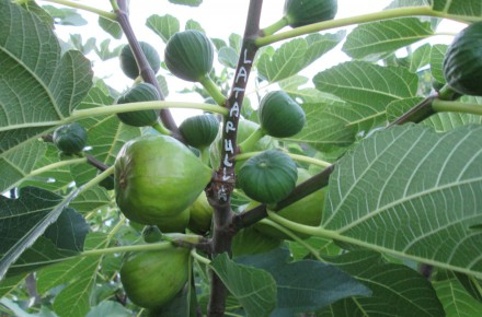 latarulla fig